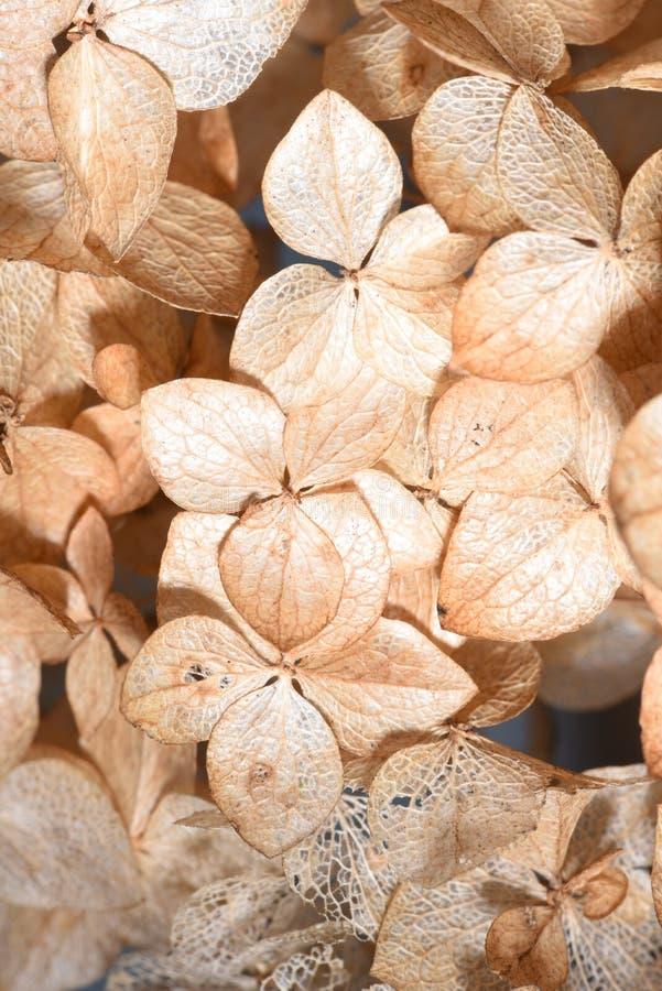 Getrocknete Hortensieblumen lizenzfreie stockbilder