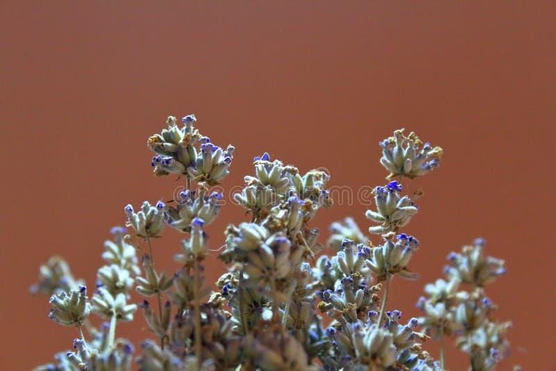 Getrocknete Lavendelnahaufnahme warm stockbilder