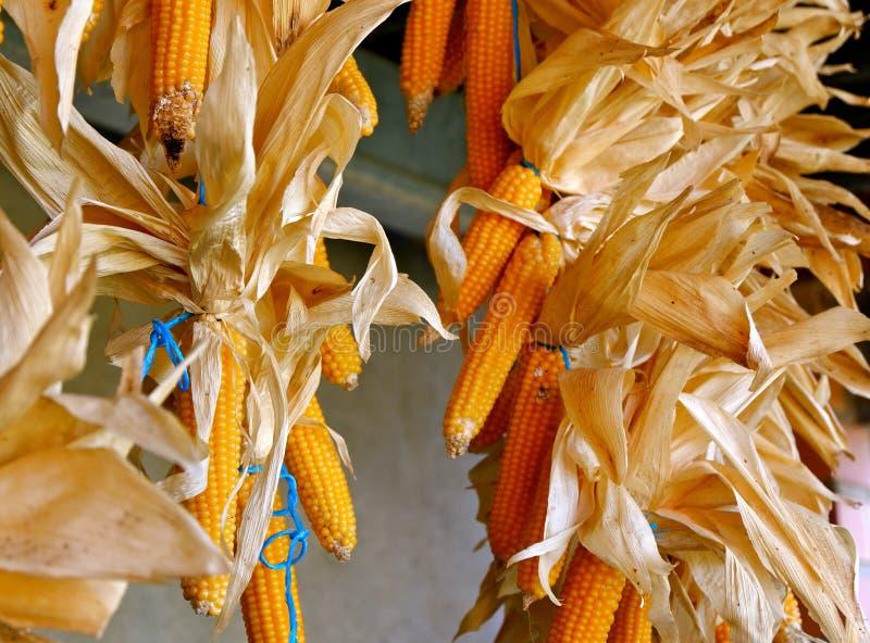 Getrocknete Maiskolben, vibrierende orange Farbe Lebensmittelkonservierung und Speicher lizenzfreie stockfotos