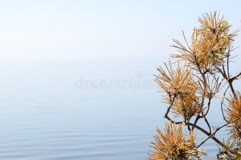 Getrocknete Niederlassung des Tannenbaums und des Kegels auf einem blauer Himmel- und Wasserhintergrundabschlu? oben Feld des gr? stockfotos