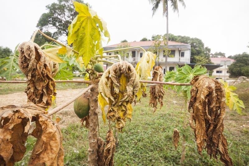 Getrocknete Papayabl?tter und reife Papayafrucht lizenzfreie stockfotografie