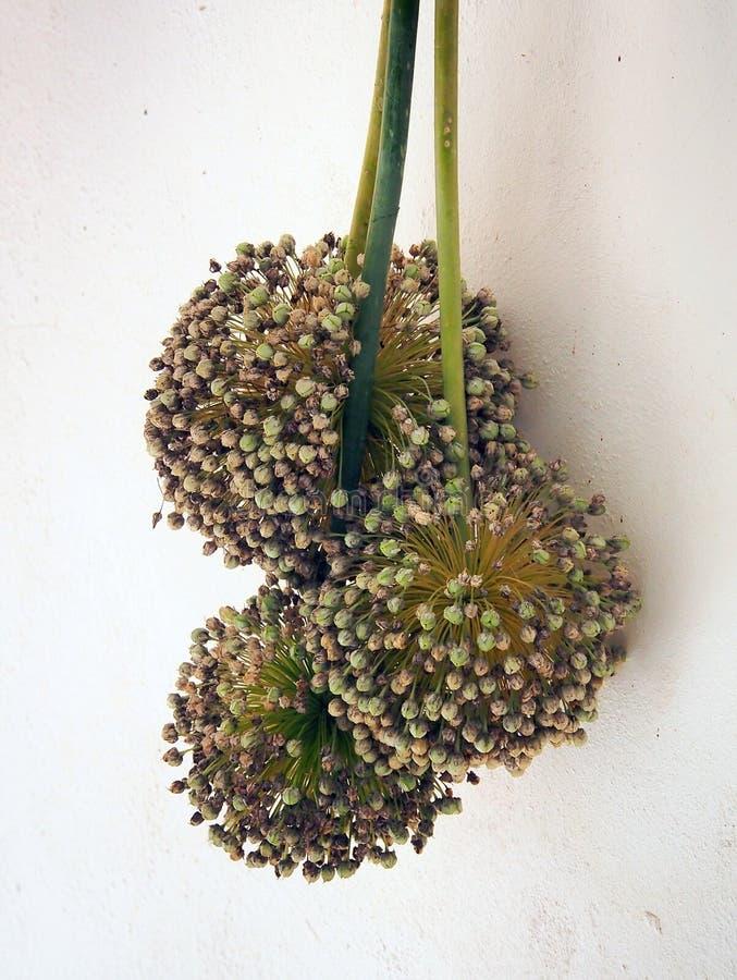 Getrocknete Porree-Blume, Seedpods lizenzfreie stockfotografie