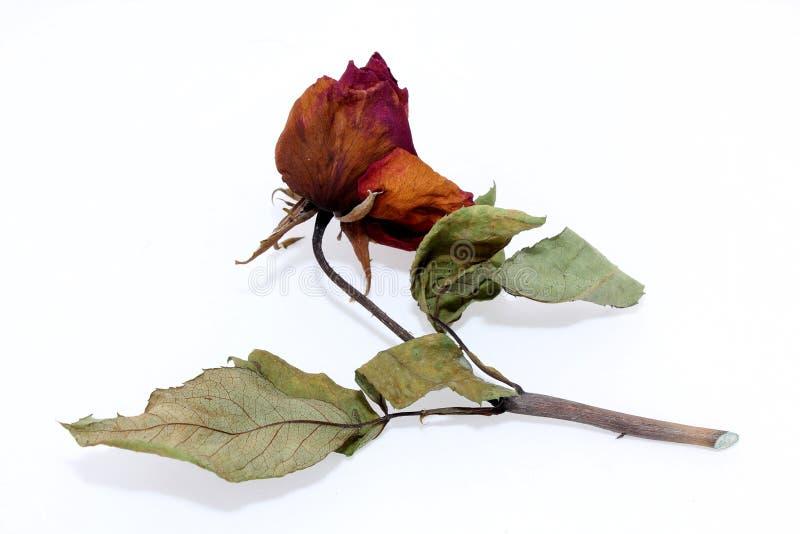 Getrocknete rosafarbene Rosen stockbild
