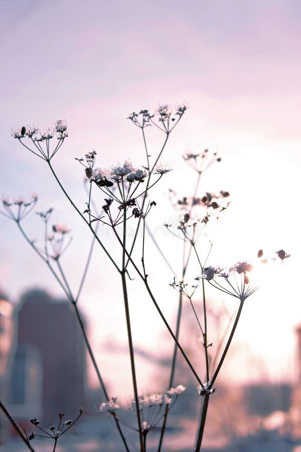 Getrockneter Blütenstand in den Strahlen des Sonnenuntergangs lizenzfreies stockfoto