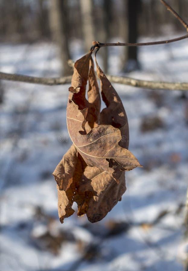 Getrockneter Eichenlaub im Winter lizenzfreie stockfotografie