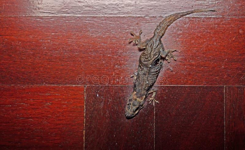 Getrockneter gemeiner Haus-Gecko auf Bretterboden lizenzfreie stockfotografie