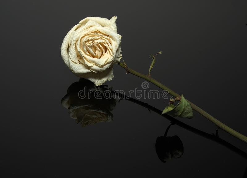 Getrockneter Whitle Rose auf einem reflektierenden schwarzen Blatt lizenzfreie stockfotografie