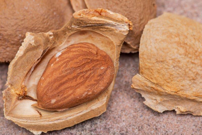 Getrocknetes Aprikosenkerne der Samen einer Aprikose, nannten h?ufig einen ?Stein ?auf Naturstein Amygdalin Vitamin B17 stockfoto
