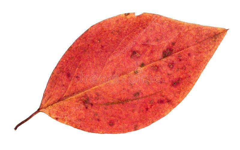 Getrocknetes gefallenes rotes Herbstblatt des Malusbaums stockfotografie