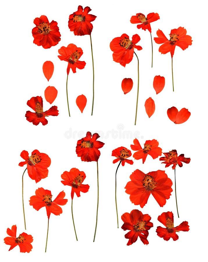 Getrocknetes gepresstes kosmeya, empfindliche Blumen des Kosmos und Blumenblätter lokalisiert lizenzfreie stockbilder