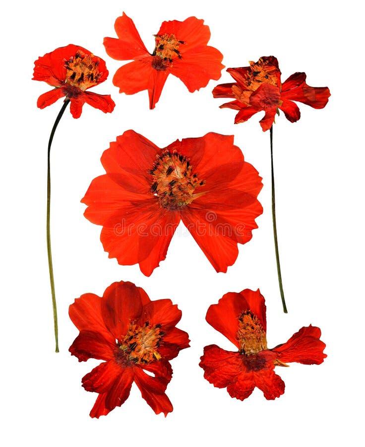 Getrocknetes gepresstes kosmeya, empfindliche Blumen des Kosmos und Blumenblätter lokalisiert lizenzfreie stockfotos