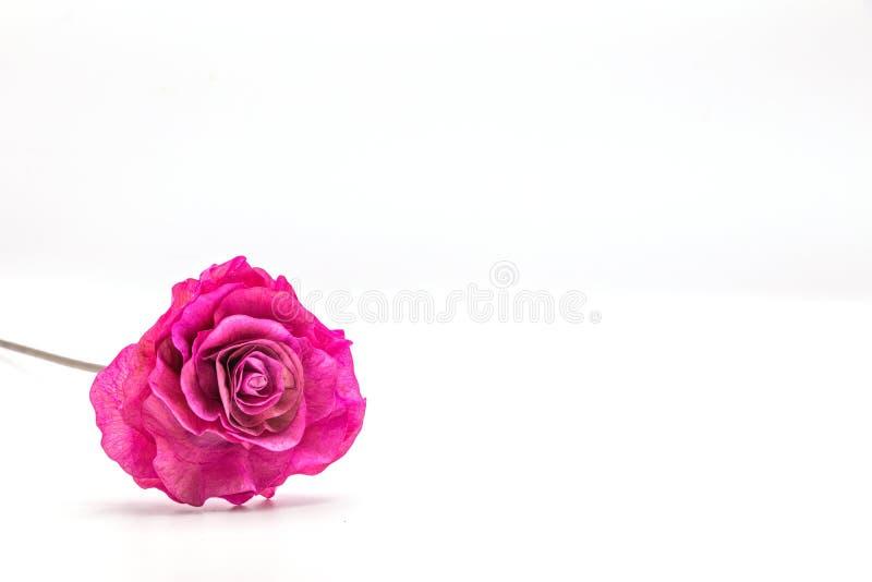 Getrocknetes rosa Blumenisolat auf Whithintergrund lizenzfreies stockfoto