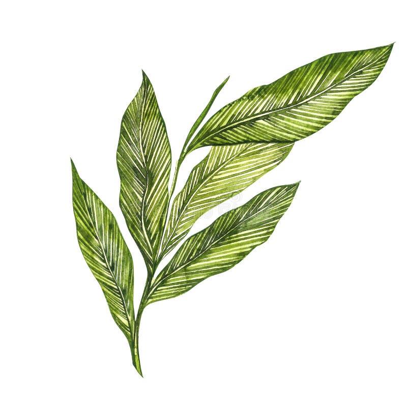 Getrokken de waterverfillustratie van de kardemominstallatie hand van kruid Realistische botanische illustratie royalty-vrije illustratie