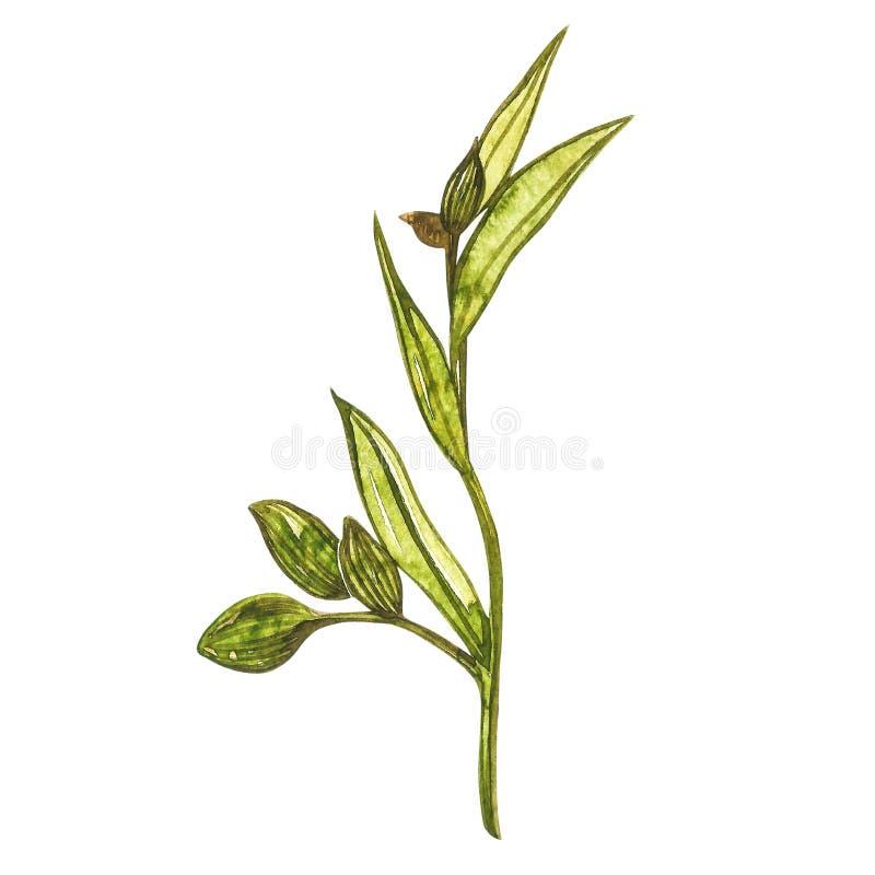 Getrokken de waterverfillustratie van de kardemominstallatie hand van kruid Realistische botanische illustratie vector illustratie