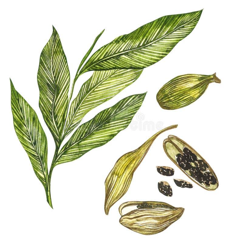 Getrokken de waterverfillustratie van de kardemominstallatie hand van kruid Realistische botanische illustratie stock illustratie