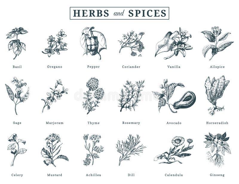 Getrokken kruiden en kruiden vectorreeks Botanische illustraties van organische, ecoinstallaties Gebruikt voor landbouwbedrijfsti vector illustratie