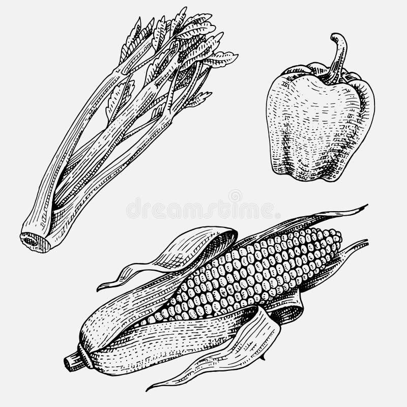 Getrokken reeks van hand, gegraveerde groenten, vegetarisch voedsel die, installaties, wijnoogst graan, snoepjes en Spaanse peper vector illustratie
