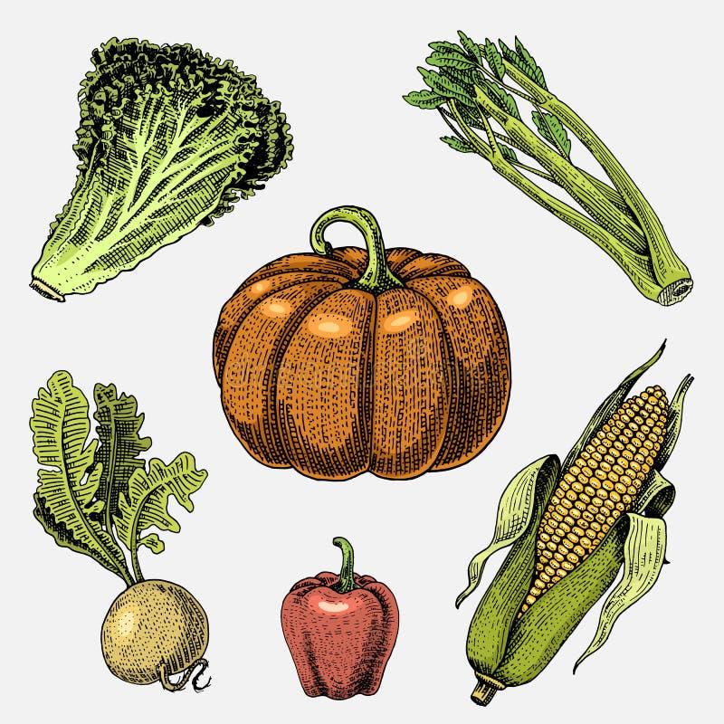 Getrokken reeks van hand, gegraveerde groenten, vegetarisch voedsel, installaties, wijnoogst pompoen, sla en selderie, graan die  royalty-vrije illustratie