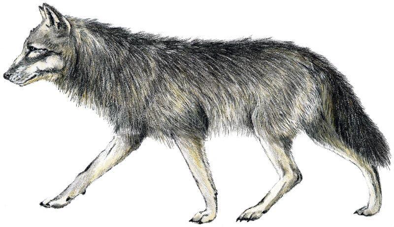 Getrokken wolf royalty-vrije illustratie