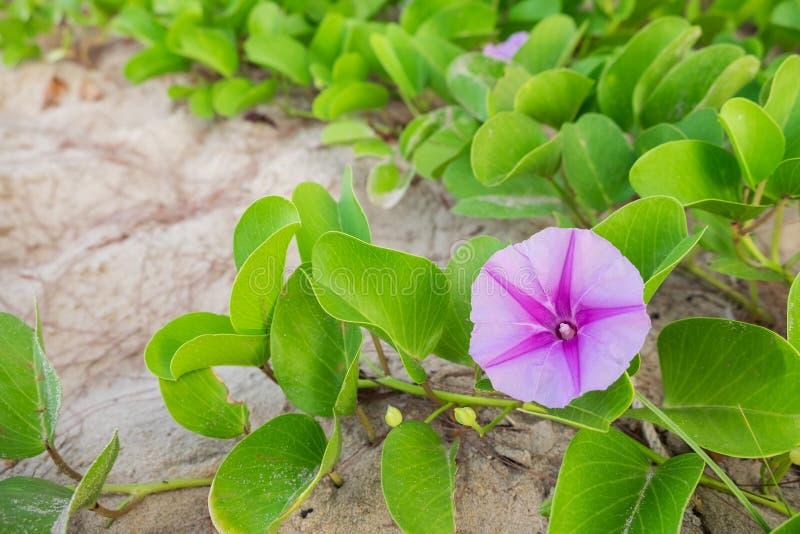 Gets härlighet för morgon för för fotranka eller strand (vetenskapligt namn: Ipomoeapes-caprae) royaltyfri foto