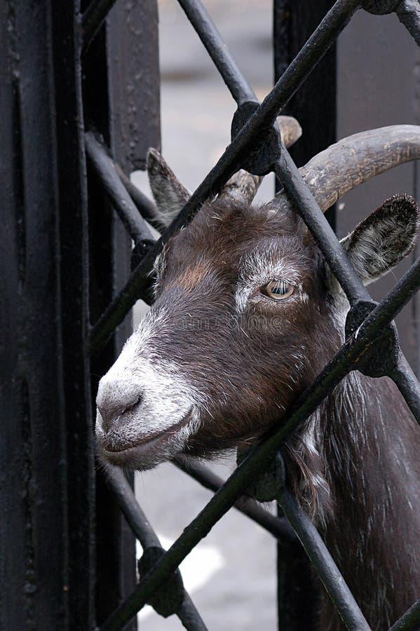Getter i djurparker royaltyfri fotografi
