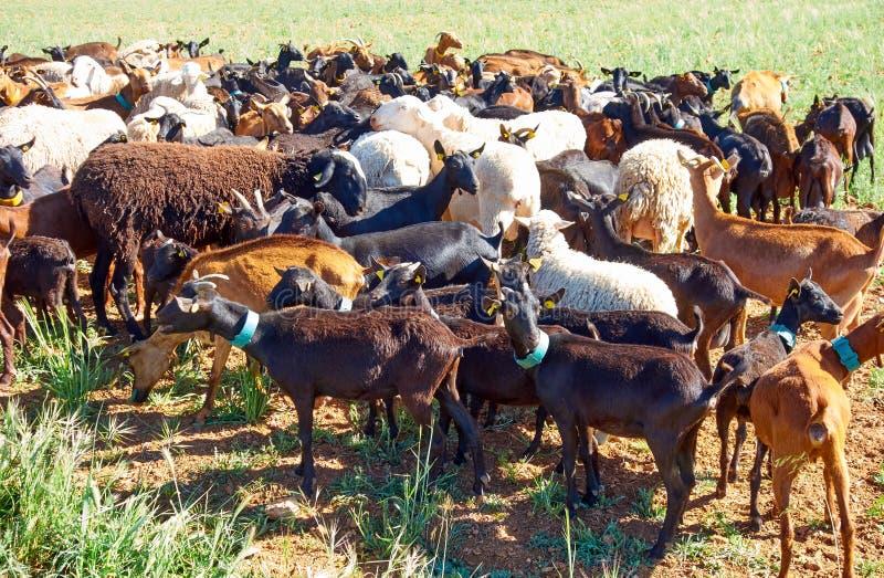 Getter och sheeps flockas CastileLa Mancha royaltyfri fotografi
