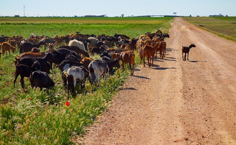 Getter och sheeps flockas CastileLa Mancha royaltyfri bild