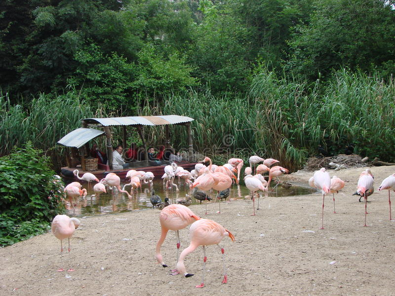 Getting close to flamingos stock photography