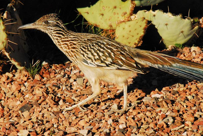 BIRDS- Close Up of a Roadrunner Geococcyx With Cactus in Utah royalty free stock photography