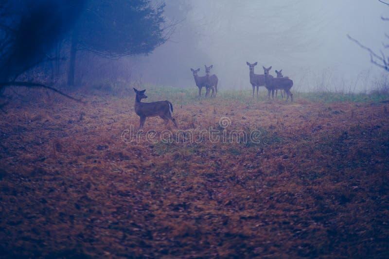 Gettysburg PA/USA December: 2018: En liten flock av vita tailed hjortar som står i en äng med höst på jordningen arkivbild