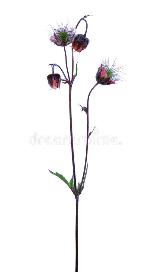 Geum rivale flower. Isolated on white background royalty free stock photo