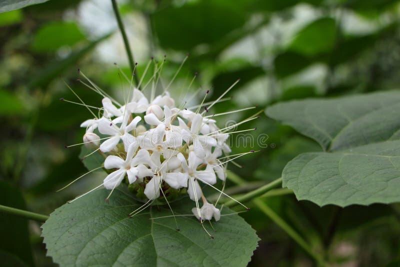 "Geurig glorybowerwortel of blad/witte flower/è ‡ èŒ ‰ èŽ ‰/ç™ ½ è ‰ ² çš ""花 stock foto"
