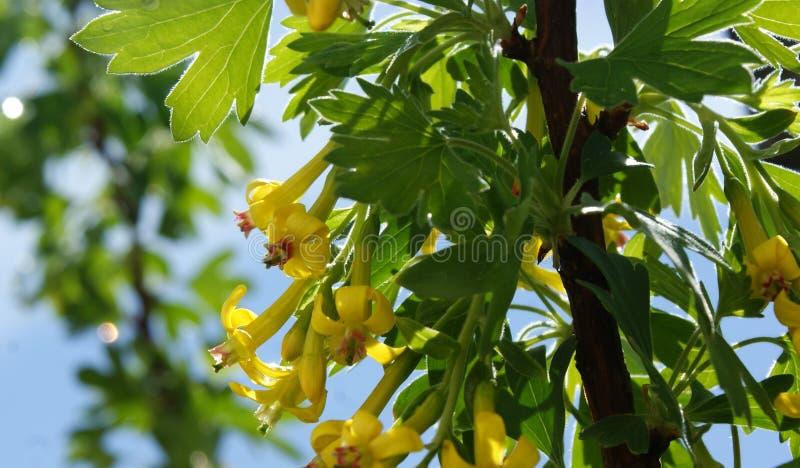 Geurige gele bes gouden bloemen stock foto