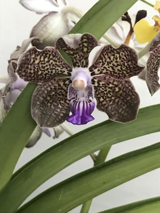 Geurige orchidee royalty-vrije stock foto