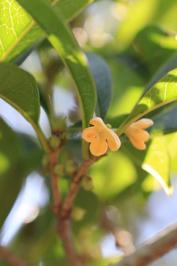 Geurige osmanthusï¼ ˆOsmanthus fragrans Thunb lour ï ¼ ‰ stock foto's
