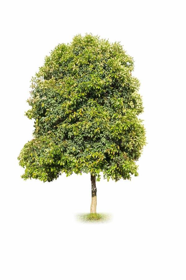 Geurige osmanthusboom royalty-vrije stock foto