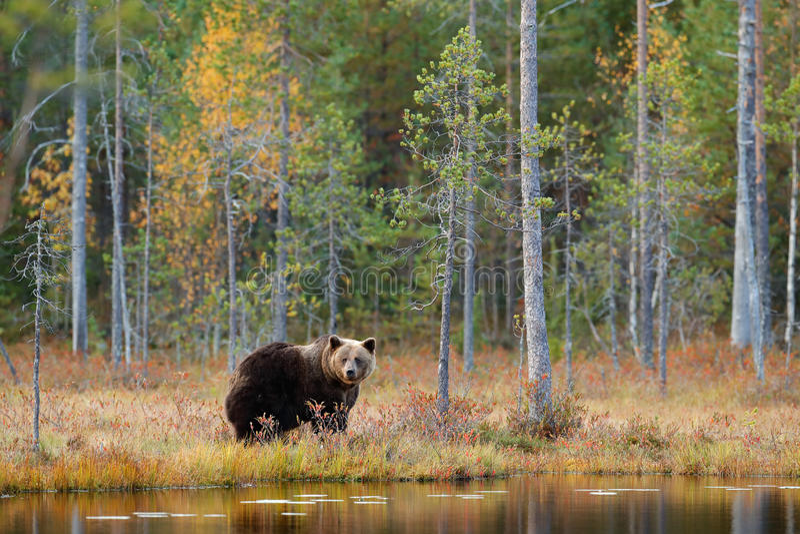 Gevaarlijk dier in aardbos en weidehabitat Het wildscène van Finland dichtbij Rusland bolder De herfstbos met beer bea royalty-vrije stock afbeeldingen