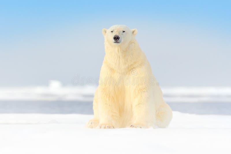 Gevaarlijk draag zittend op het ijs, mooie blauwe hemel Ijsbeer op de rand van het afwijkingsijs met sneeuw en water in het overz stock foto's