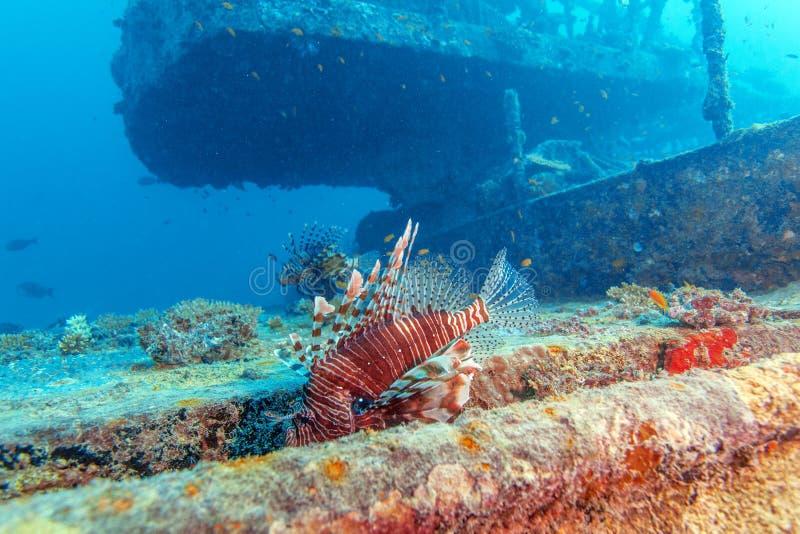 Gevaarlijk Lion Fish dichtbij Schipbreuk royalty-vrije stock foto