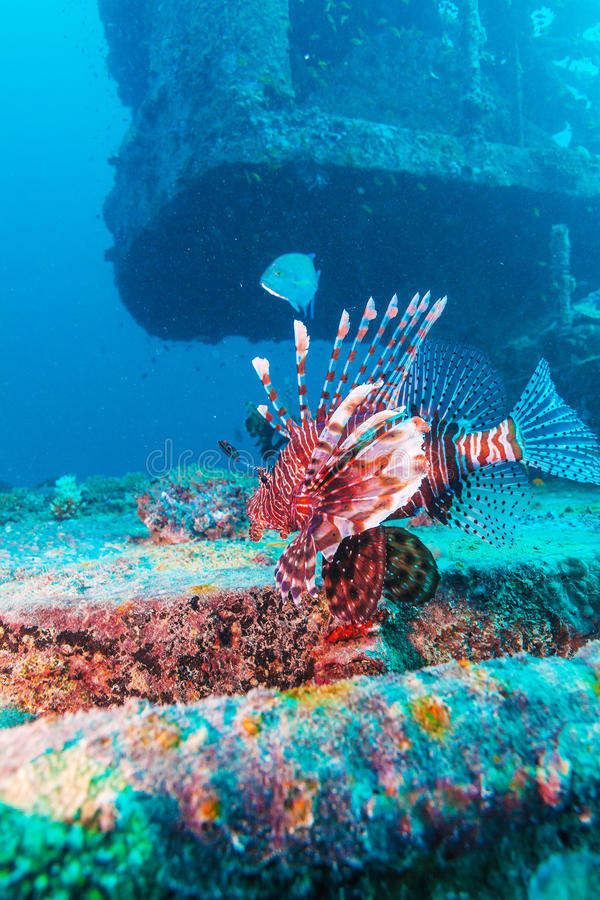 Gevaarlijk Lion Fish dichtbij Schipbreuk royalty-vrije stock foto's
