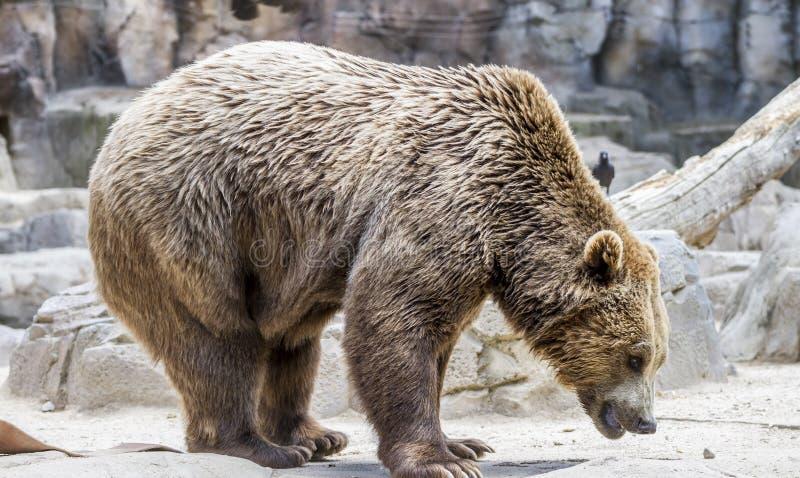 Gevaarlijke Roofdier, mooie en bont bruin draagt, zoogdier stock foto
