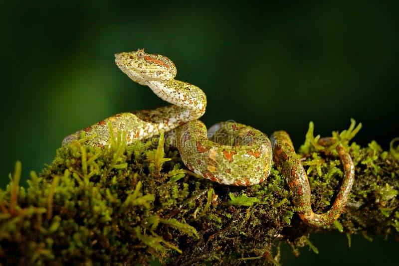 Gevaarlijke slang in de aardhabitat Wimperpalm Pitviper, Bothriechis-schlegeli, op de groene mostak Gifslang in t royalty-vrije stock foto