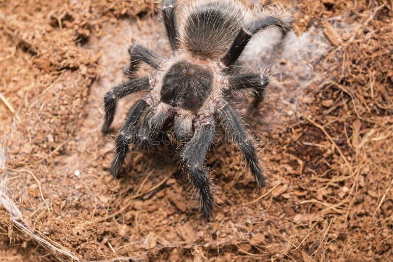 Gevaarlijke tarantulaspin in een speciale terrarium stock afbeeldingen