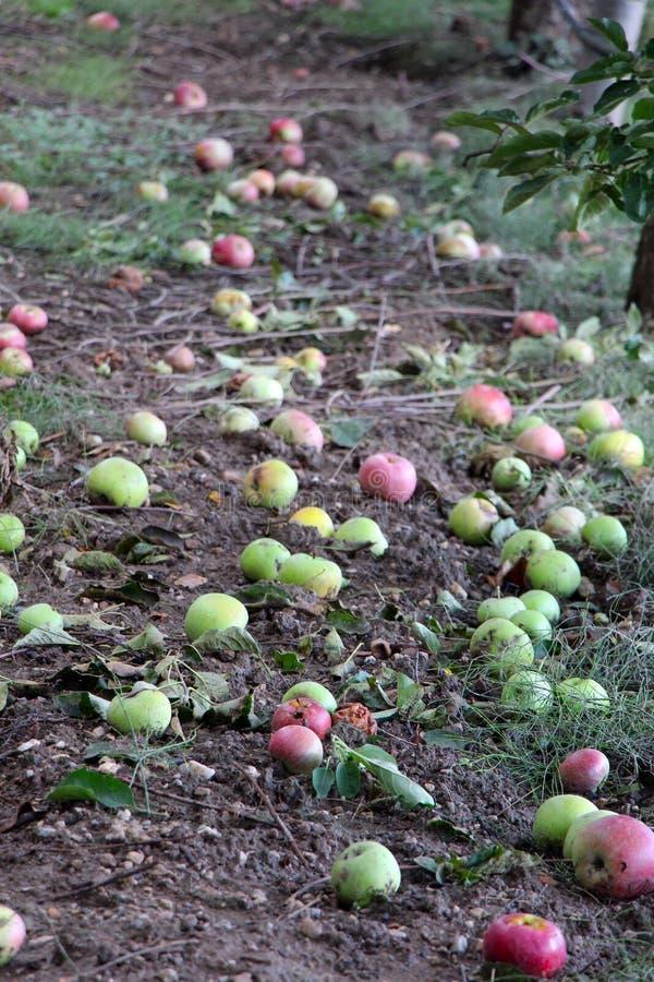 Gevallen appelen in een boomgaard stock foto