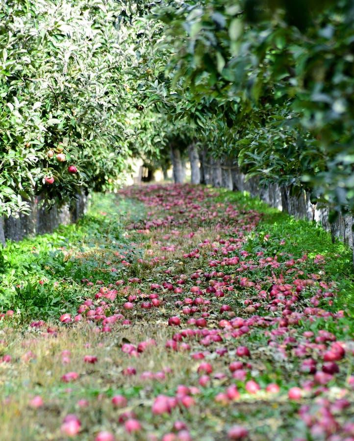 gevallen appelen in een boomgaard klaar voor het oogsten, ondiepe dof royalty-vrije stock afbeeldingen