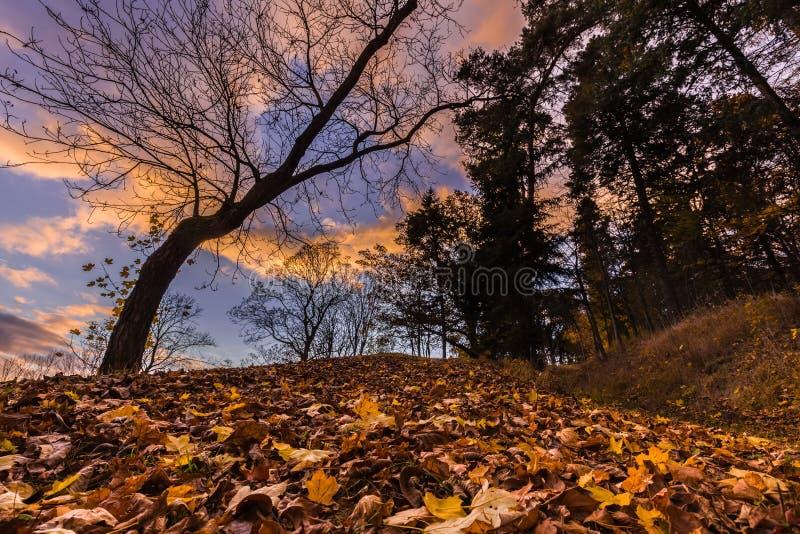 Gevallen bladeren en boomsilhouet bij zonsondergang stock foto's