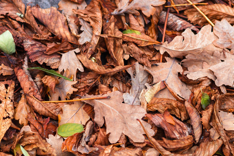 Gevallen bladeren van kastanje, esdoorn, eik, acacia Bruin, rood, oranje en gren Autumn Leaves Background stock foto's