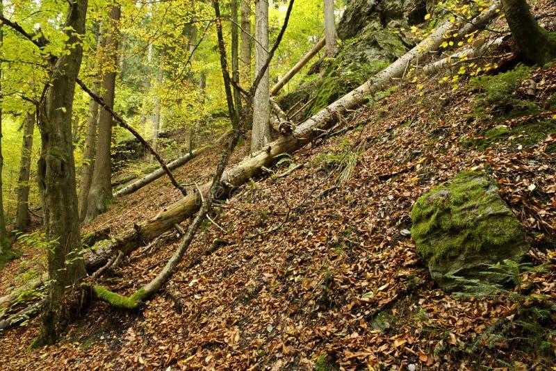 Gevallen boom in bos stock afbeeldingen