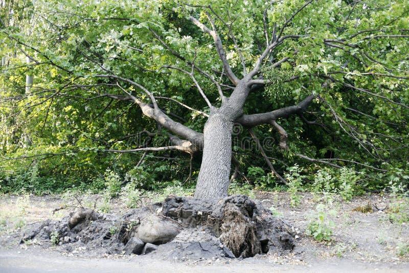 Gevallen boom in het park stock foto