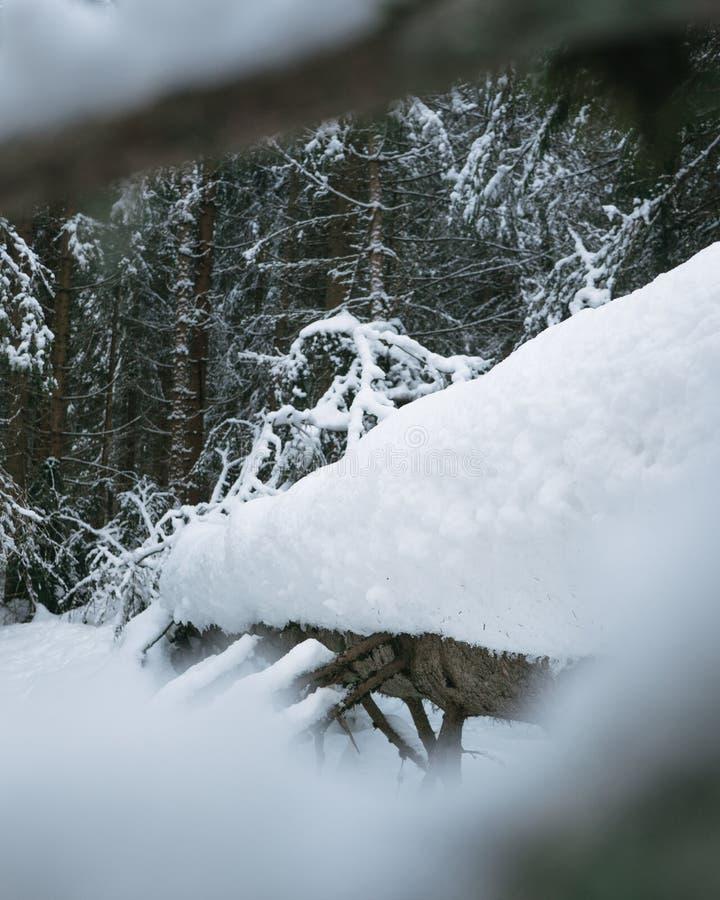 Gevallen boom onder sneeuw stock afbeeldingen